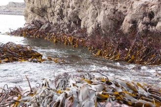 Extreme Low Water. kelp & starfish 4