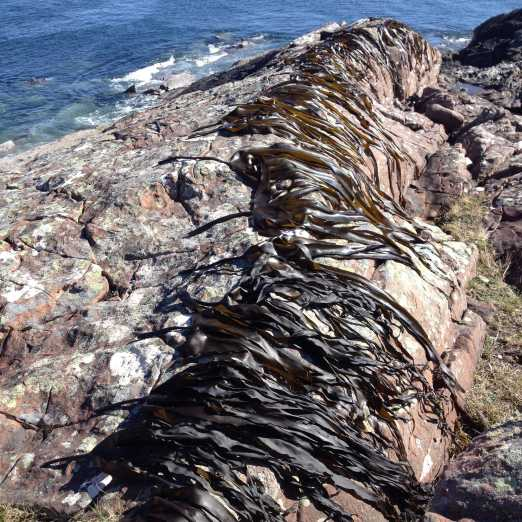 Kelp drying over rocks med size