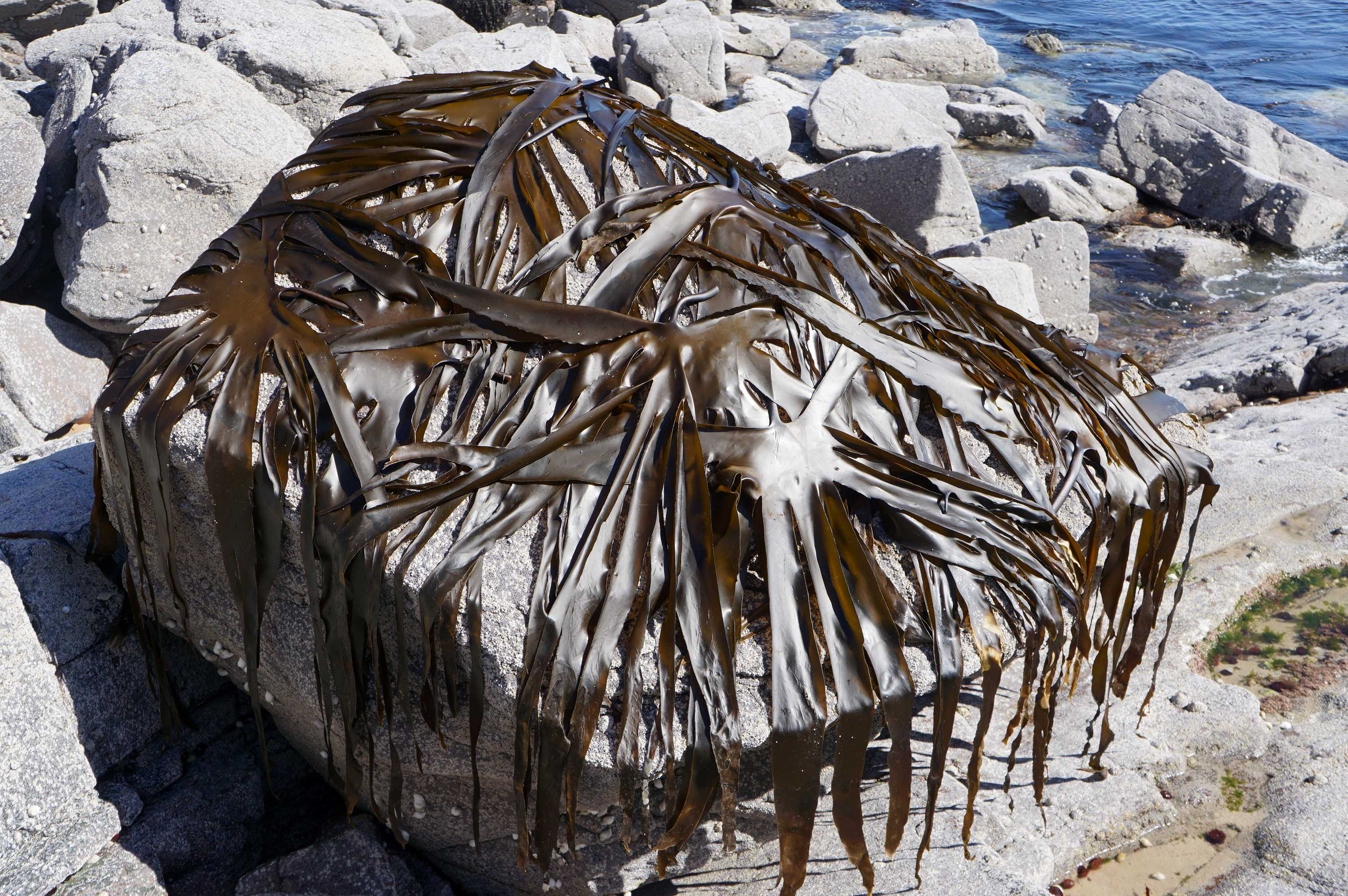 Kelp stretched covered rock Dornie 2