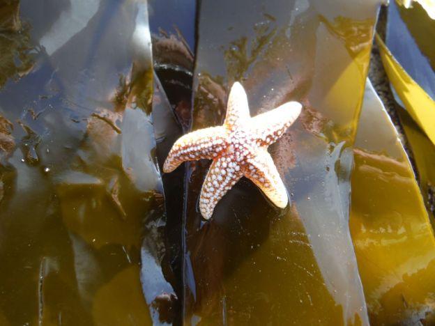 starfish CU 4