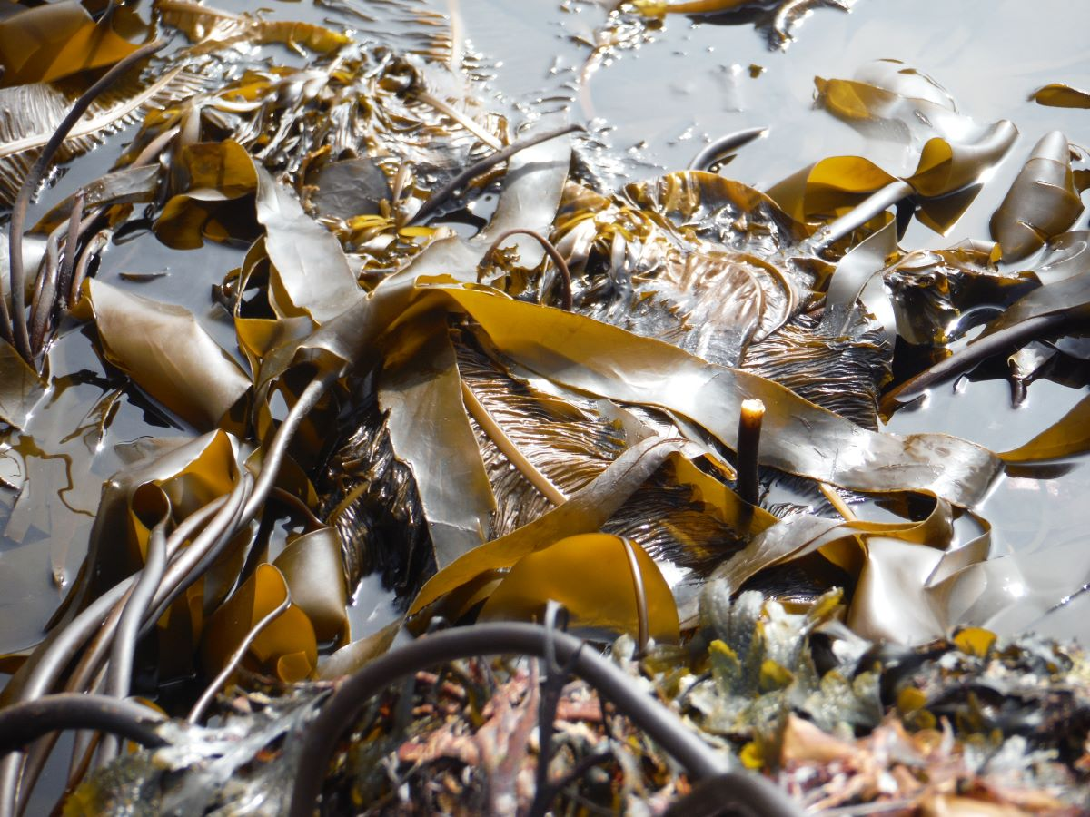 Varietties of kelp at low water 4